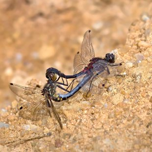 Vážka čárkovaná (Leucorrhinia dubia) ♂ + ♀