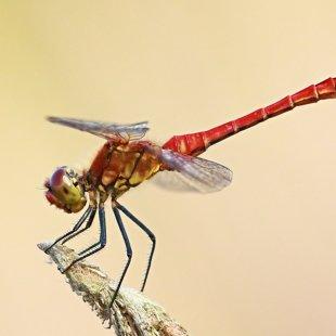 Vážka rudá (Sympetrum sanguineum) ♂