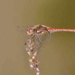 Vážka žíhaná (Sympetrum striolatum) ♂