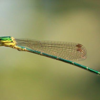 Šídlatka zelená ♂ (2013)