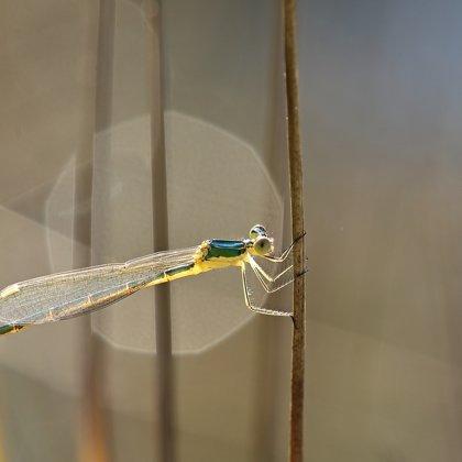 Šídlatka zelená ♀ (2015)