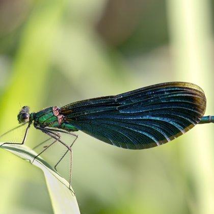 motýlice obecná ♂ (2016)