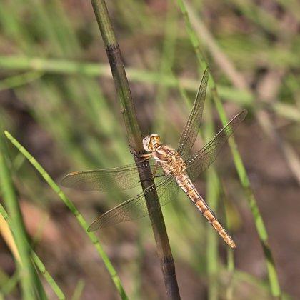 vážka hnědoskvrnná ♂ (2018)