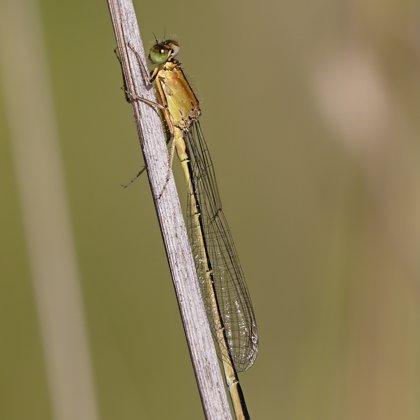 var. rufescens - obsoleta ♀