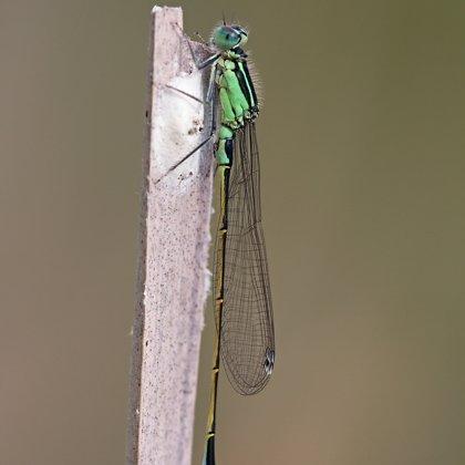 var. typica - juvenilní ♂