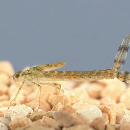 celkový vzhled larvy