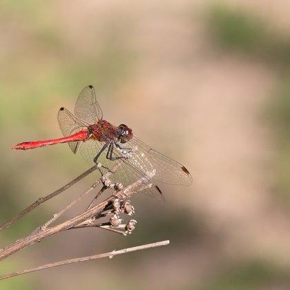 vážka rudá ♂ (2017)