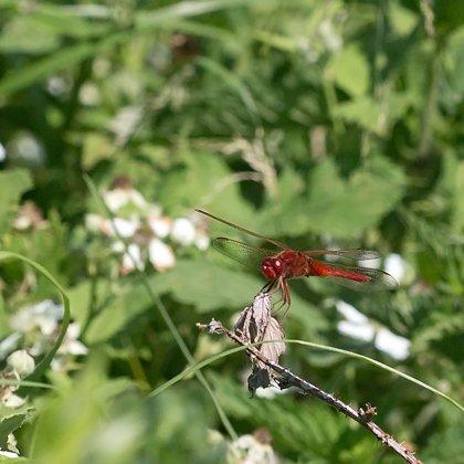 vážka červená ♂ (2019)