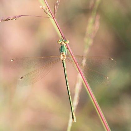 šídlatka brvnatá ♀ (2018)