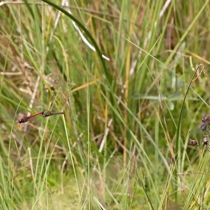 vážka rudá ♂ + ♀ (2016)