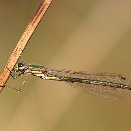 šídlatka zelená ♀ (2020)
