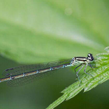 typicky zbarvená samice se zelenou a modrou barvou