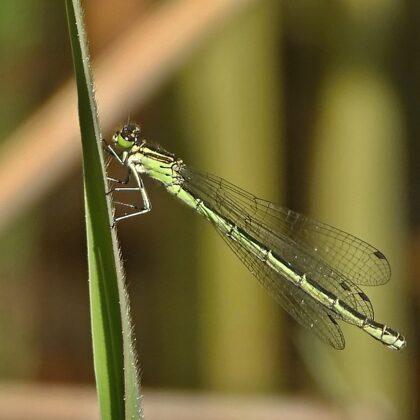 zeleně vybarvená samice