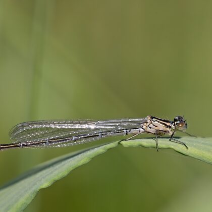 mladá nedovybarvená samice