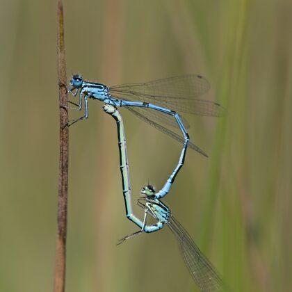 pár s modře zbarvenou samicí