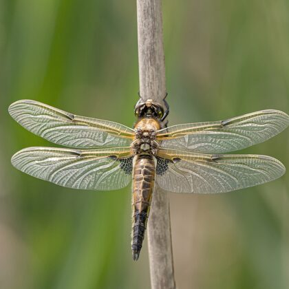 vážka čtyřskvrnná ♀ (2021)