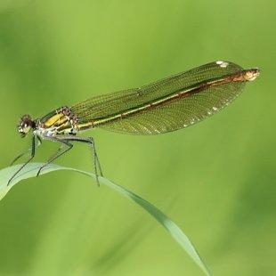 motýlice lesklá ♀ (2013)