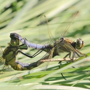 vážka černořitná ♂+♀ (2012)