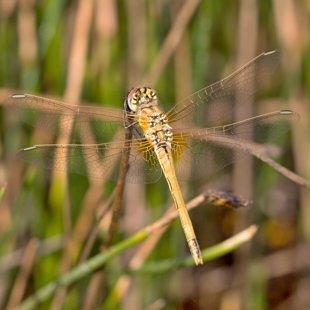 vážka jarní ♀ (2013)