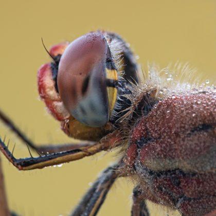 vážka jarní ♂ (2020)