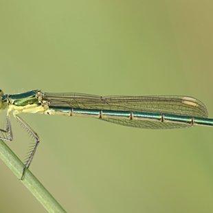 Šídlatka zelená ♀ (2013)