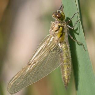 Vážka čtyřskvrnná ♀ (2013)