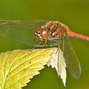 vážka obecná ♂ (2012)
