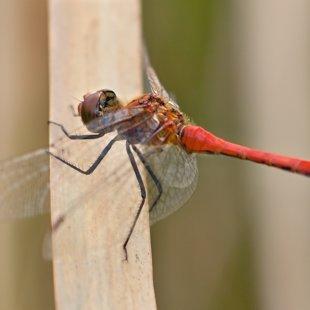 vážka rudá ♂ (2012)