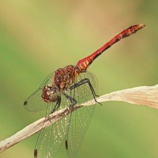 vážka rudá ♂ (2013)