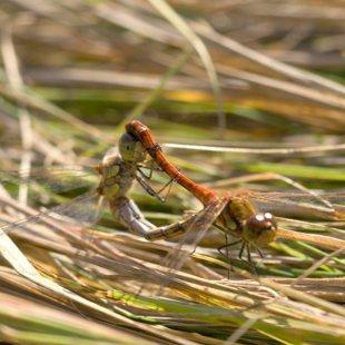vážka žíhaná ♂ + ♀ (2012)