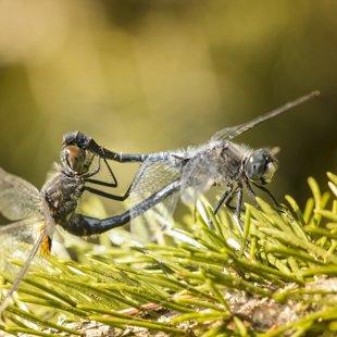 Vážka běloústá ♂ + ♀ (2015)