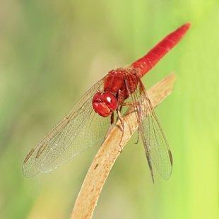 Vážka červená ♂ (2013)