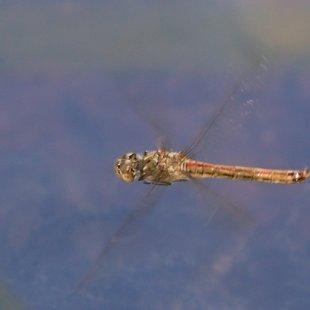Vážka obecná ♀ (2013)