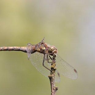 vážka žíhaná ♀ (2015)