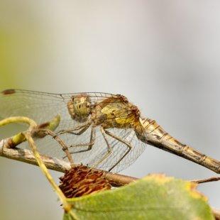 vážka žíhaná ♀ (2013)