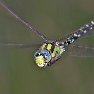 šídlo modré ♂ (2014)