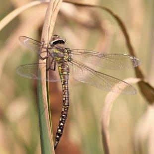 šídlo pestré ♀ (2013)
