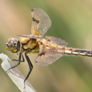 vážka čtyřskvrnná ♂ (2014)