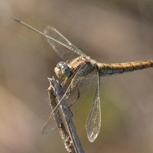 vážka hnědoskvrnná ♀ (2014)