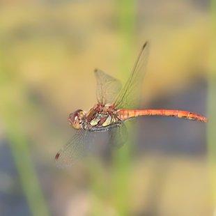 vážka žíhaná ♂ (2013)