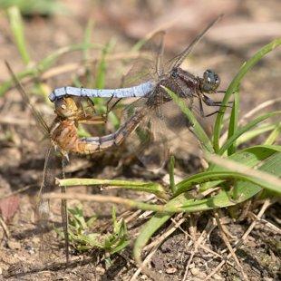 vážka žlutoskvrnná ♂ + ♀ (2015)