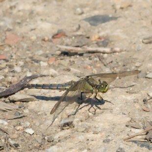 Vážka černořitná ♀ (2014)