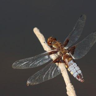 vážka ploská ♀ (2013)