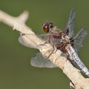 vážka ploská ♂ (2013)