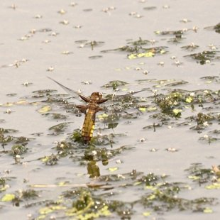 vážka ploská ♀ (2015)