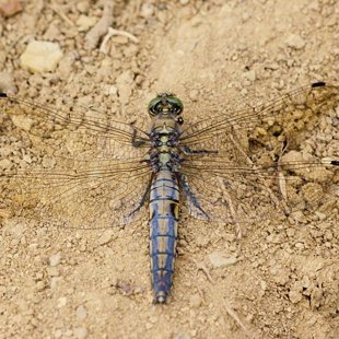 Vážka černořitná ♀ (2013)