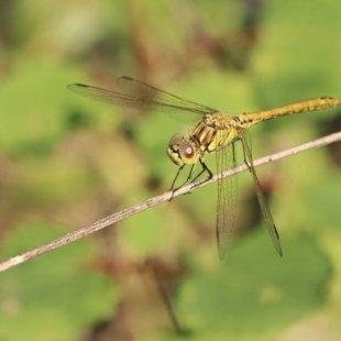 vážka obecná ♀ (2014)