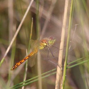 vážka rumělková ♀ (2014)