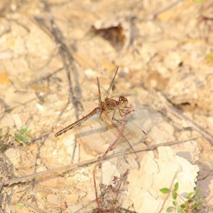 vážka žíhaná ♀ (2014)