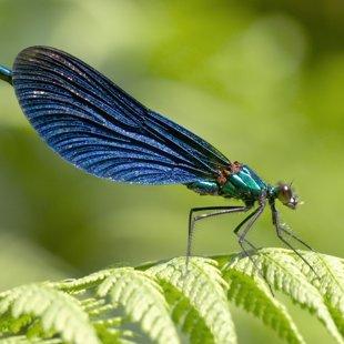 motýlice obecná ♂ (2015)